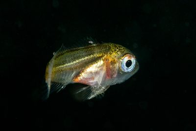 A Young of Year Copper Rockfish, Sebastes caurinus, not long after settling on the bottom from the larval stage.