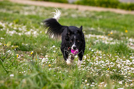 Border Collie Dog Running with Purple Tennis Ball up Grassy Hill