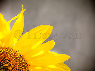 DH_Sunflower-0016