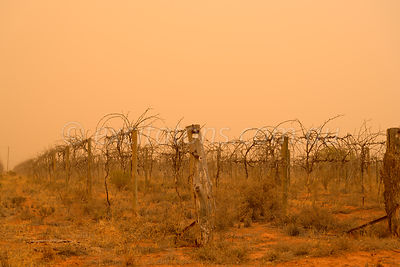 Abandoned vineyard with dust storm