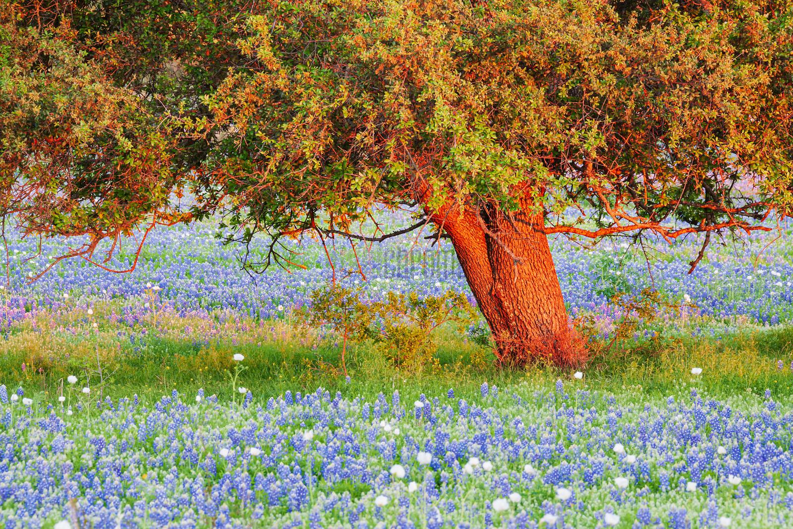 Live Oak Tree and Bluebonnets at Sunset