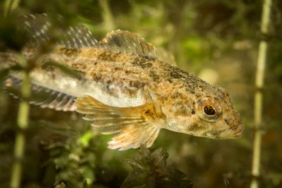 Prickly Sculpin, Cottus asper, among lake weeds.