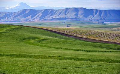 Green_wheat_and_Mt._Adams