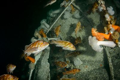Aggregation of Copper Rockfish, Sebastes caurinus, in the hull of a wrecked sailboat with Plumose Anemone.