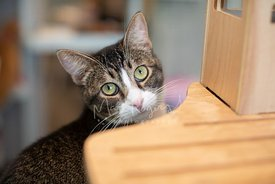Close-up Photo of Tabby Cat Mix with Green Eyes Peeking from Cat Tree
