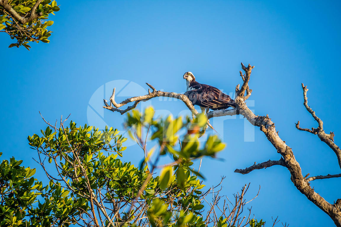 A Western Osprey in Everglades National Park, Florida