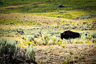 Lone Bison On Watch