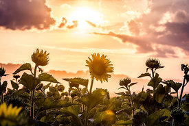 Sunflowers in the Afternoon