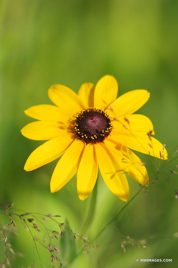 BLACK-EYED SUSAN PRAIRIE WILDFLOWER IN SUMMER