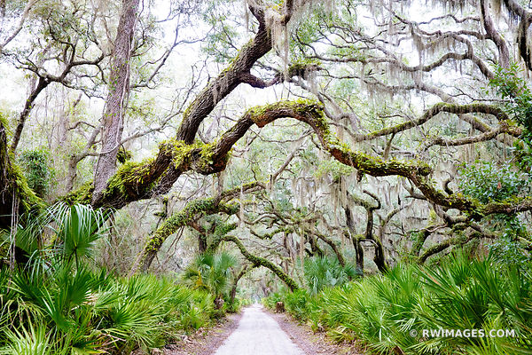 ROAD TO DUNGENESS COASTAL FOREST LIVE OAK TREES SPANISH MOSS PALMETTOS CUMBERLAND ISLAND GEORGIA