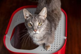 Serious Grey Cat with Yellow Eyes Sitting on top of Red Litterbox