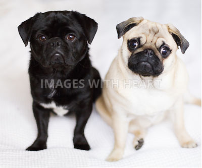 two pugs black and fawn