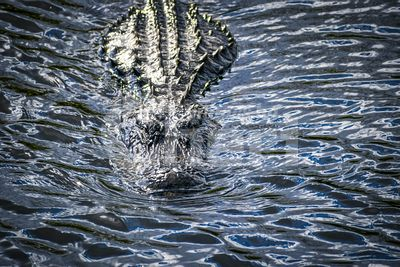 A large American Alligator in Miami, Florida