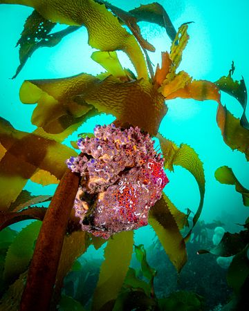 Puget Sound King Crab, Lopholithodes mandtii, on a kelp stalk.