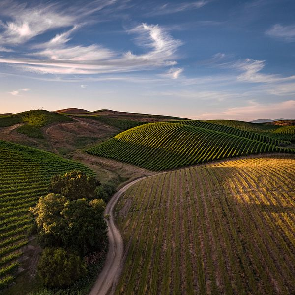 Rolling vineyard hills in Carneros, Napa Valley, California. Drone aerial photography by Jason Tinacci / TinacciPhoto.com