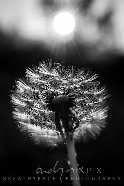 Wall Art Decor Photo Print: Dandelion Sunrise II