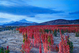 Field of Royal Quinoa / Quinua Real (Chenopodium quinoa) before dawn, Tunupa volcano in background, Marka Vinto, Bolivia