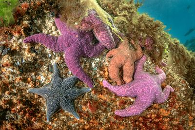 Group of Ochre Star, Pisaster ochraceus, and a single Bat Star in Tahsis Inlet.