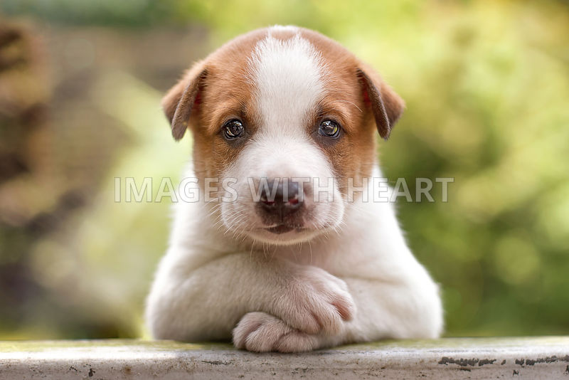 Cute Puppy Staring at  Camera