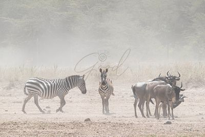 Zebra and Wildebeest in Dust of Kenya