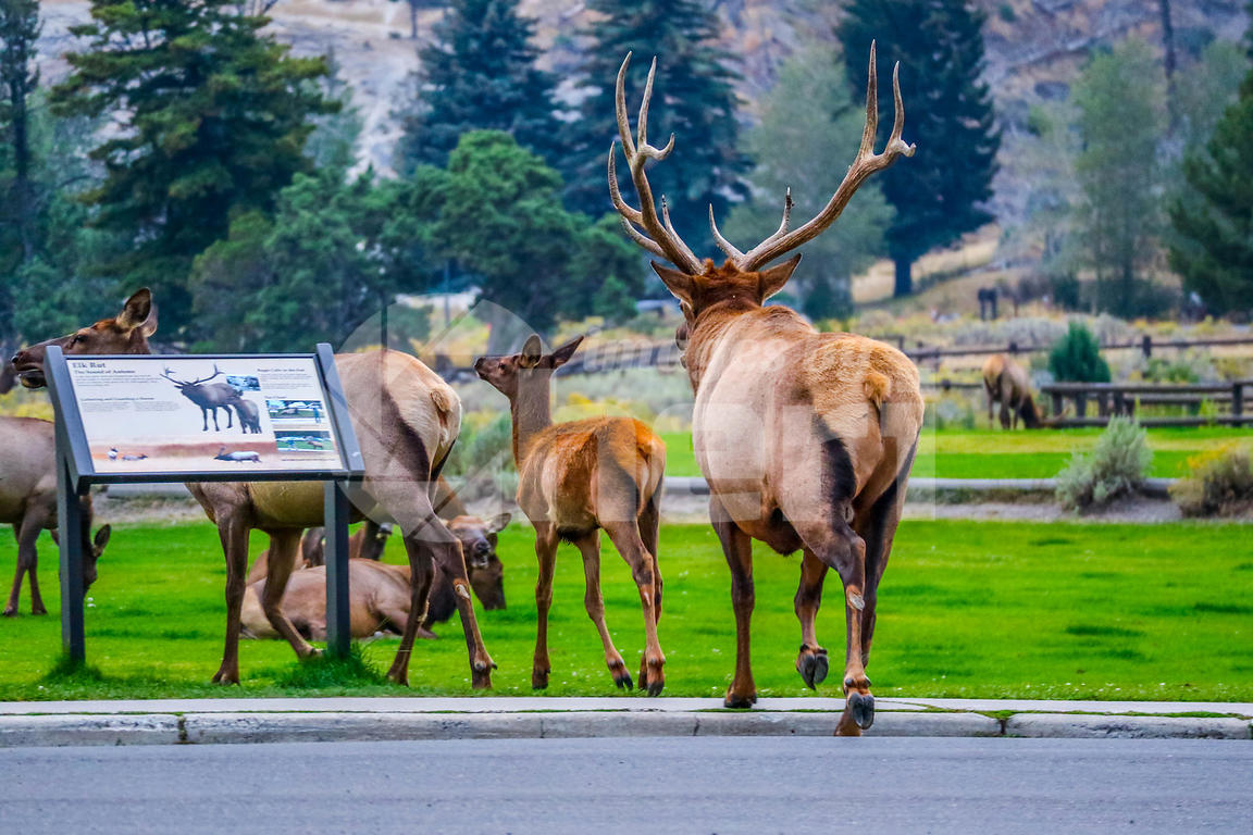 Bull Elk and his female harem in Yellowstone National Park, Wyoming