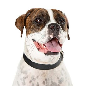 Panting pet pit bull dog closeup isolated