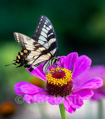Swallowtail_butterfly-Filename_number_suffix-_1July_13_2019_