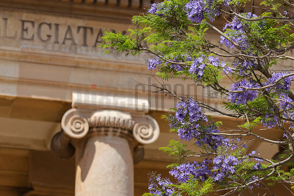 Flowering Jacaranda Outside St Paul's Pro-Cathedral