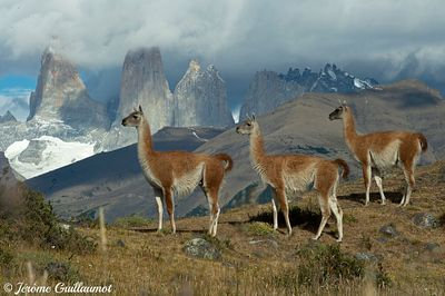 Day 58 : Guanaco, Torres Del Paine, Chile