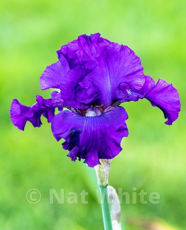 Iris_bloom-purple_Date_(Month_DD_YYYY)1_640_sec_at_f_5.3_NAT_WHITE