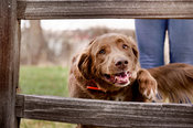 Brown Lab Retriever mix smiling and reaching through old wood fence with person in background
