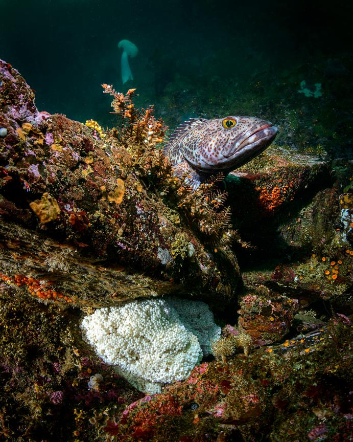 Medium sized Lingcod stands guard over its eggs.
