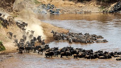 Wildebeest and Zebra Migration Crossing Mara River