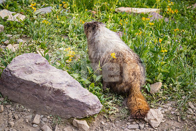 A Marmot at Glacier National Park
