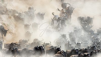 Wildlife Mad Rush Herd Stampede