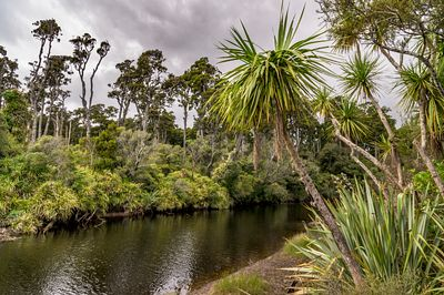 Kahikatea, flax, cabbage trees, and other vegetation grow along Ship Creek north of Haast, New zealand.