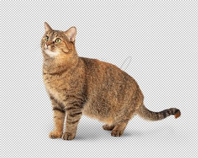 Brown Tabby Cat Facing Side Looking Up