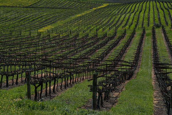 Dormant grape vines in Carneros, napa Valley, Napa County, California, USA.