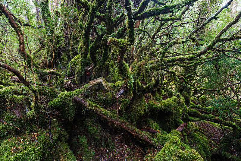 Cool Temperate Rainforest Chaos