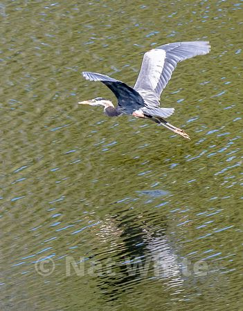 Heron_in_flight_NAW1756NAT_WHITE_May_08_2021