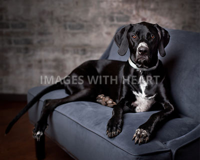 Black dog on sofa