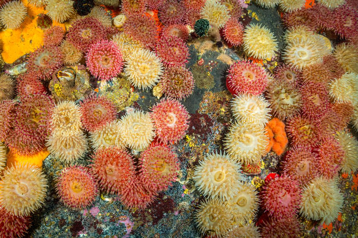 Painted Anemone sometimes blanket the rocks in current swept locations along the coast of British Columbia