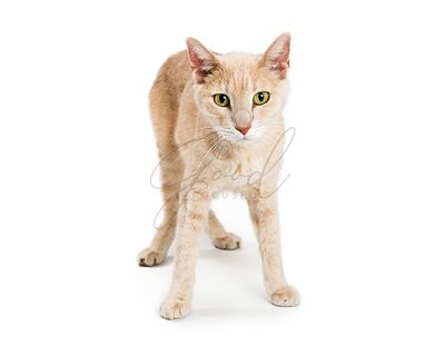 Buff Color Young Cat Standing on White