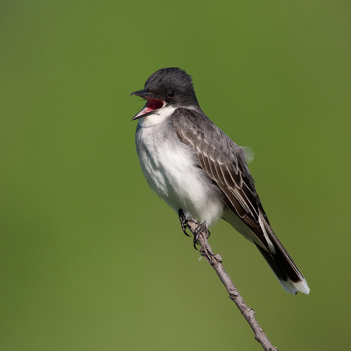 Singing Eastern Kingbird