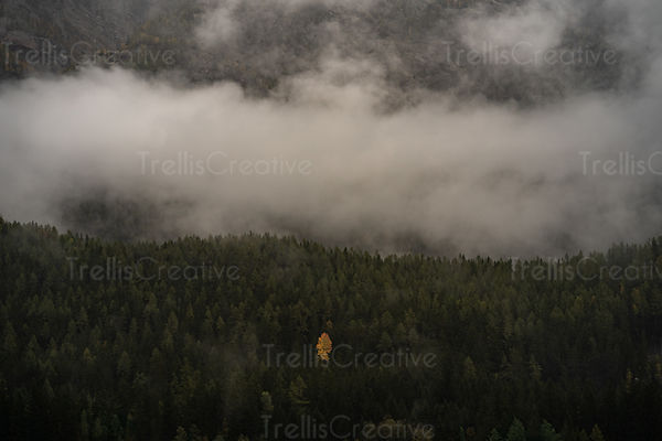 Lone tree with golden leaves among green forest, Chamonix, France