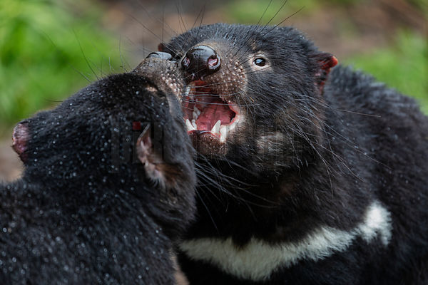 Tasmanian Devils using Threat Gestures