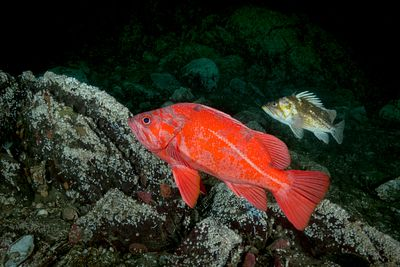 Vermilion Rockfish, Sebastes miniatus, and a Copper Rockfish behind, in Saanich Inlet, Vancouver Island.