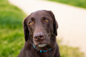 Close-up of Soulful Brown Labrador on Pathway