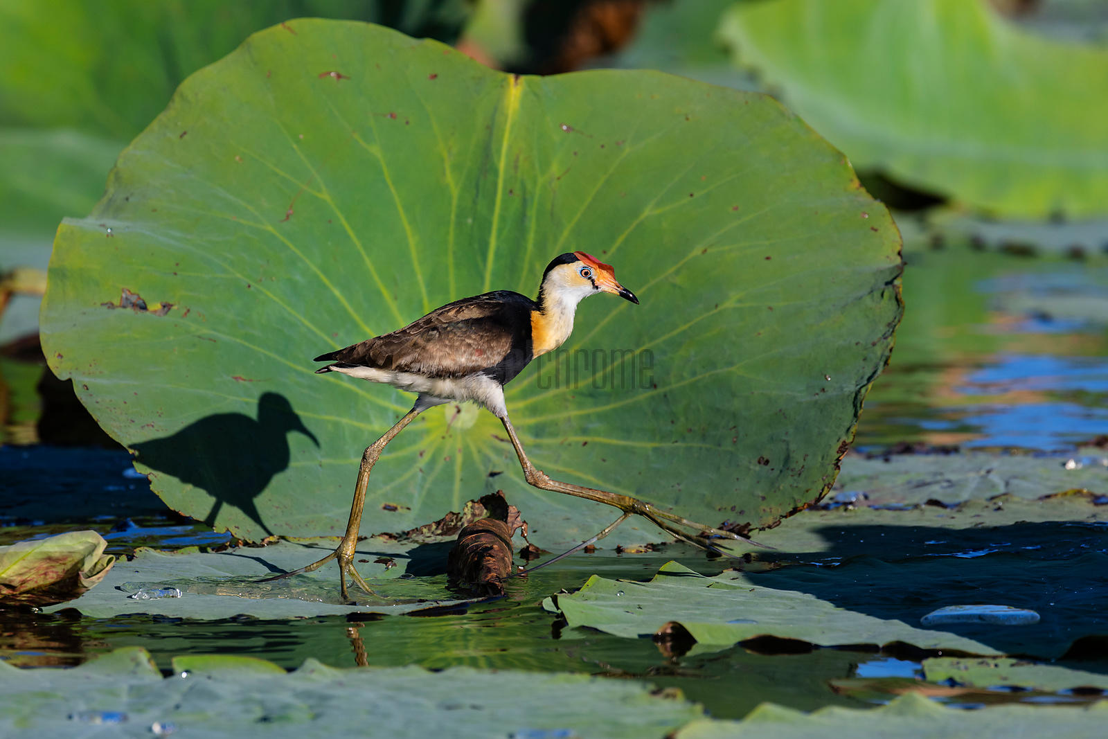 Comb-Crested Jacana Walks on Lotus Leaves
