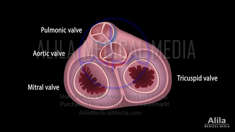 Heart valves function with heart sound, animation loop.